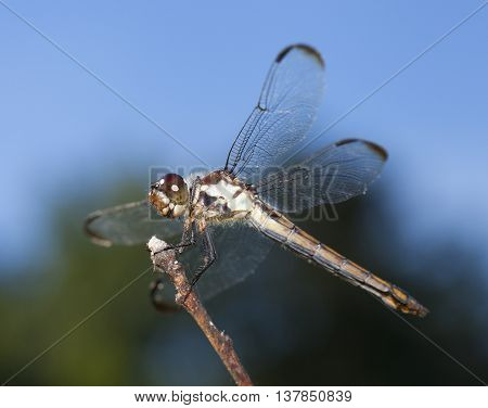 Dragonfly with brown eyes waiting on a stick