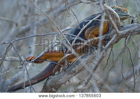 Conolophus subcristatus is land iguana in the bush