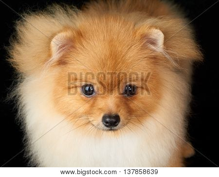 Portrait of beautiful Pomeranian dog on black background