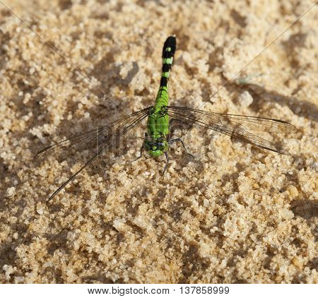 Green dragonfly on the sand waiting for a meal to fly by