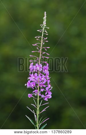 flowers of willow-herb (Ivan-tea) on green blurred background