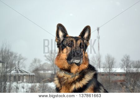 German Shepherd Dog Is Guarding Something In Winter Day