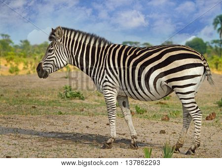 A lone Zebra standing on the plains in Hwange National Park - Zimbabwe
