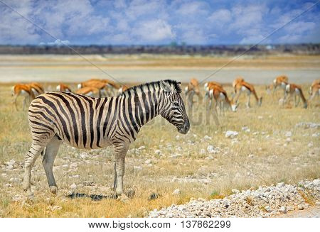 An isolated zebra on the dry dusty plains in Etosha with springbok in the background against a blue cloudy sky