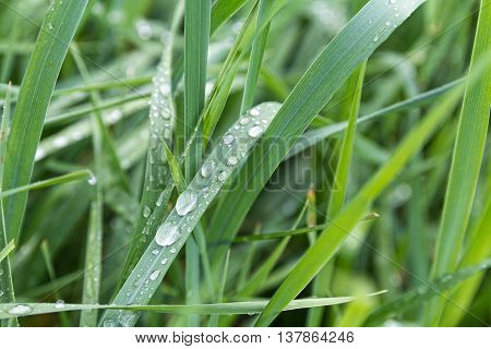 Dew drops close-up on green grass. Nature