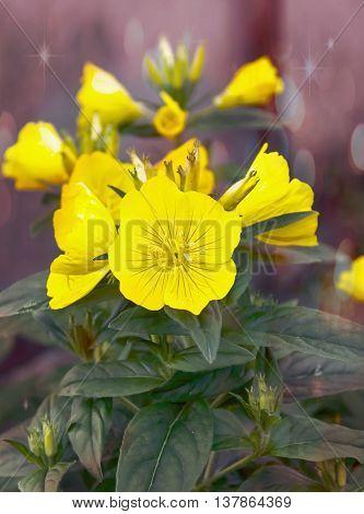 Evening Primrose Flower Garden Flowers In The Flower Bed, Bud Beautiful, Selective Focus