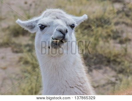 Chewing white lama in the Andes mountains Argentina.