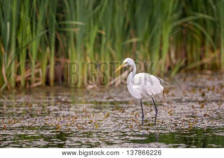 White, Great Egret