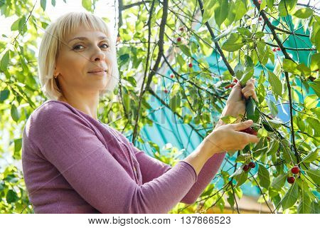 A smiling young woman gathering cherries in the garden