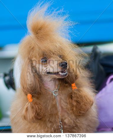 Expressive portrait of red-haired Toy Poodle .