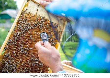 Beekeeper looks at the sites through a magnifying glass. Beekeeper studying the eggs and larvae of bees with help of a magnifying glass.