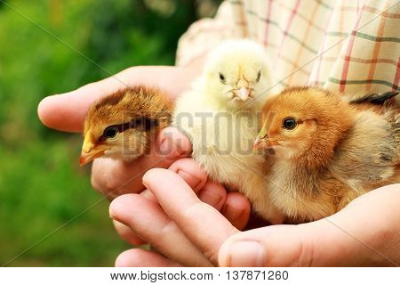 Three little cute chick. Color photo. Close-up