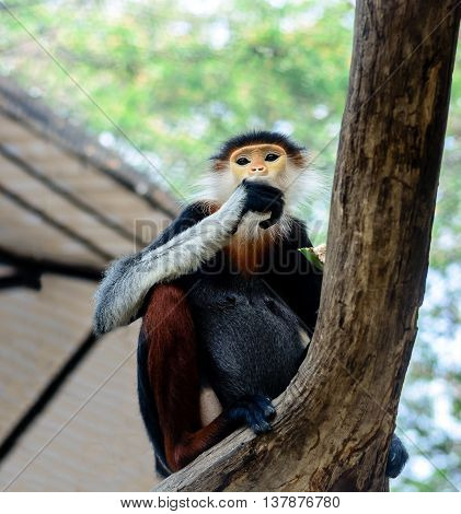 Red-shanked Douc Langur or Pygathrix nemaeus with copy space