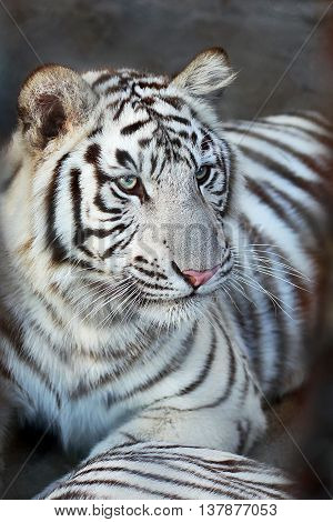 Portrait of a young white bengal tiger