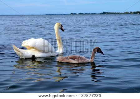 swan with baby chicks at baltic sea germany
