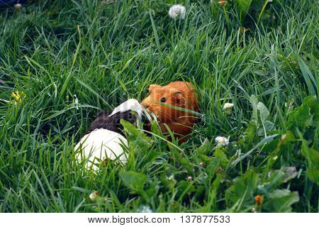 Two guinea pigs are walking in a meadow