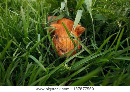Little curious guinea pig on green grass