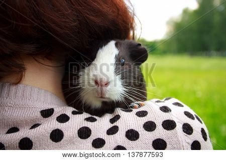 Charming guinea pig sits on a shoulder of the girl