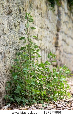Plant in the nettle family (Urticaceae) growing at base of wall. Pellitory-of-the-Wall (Parietaria judaica) plant