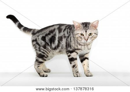 American shorthair cat is looking forward with copy space