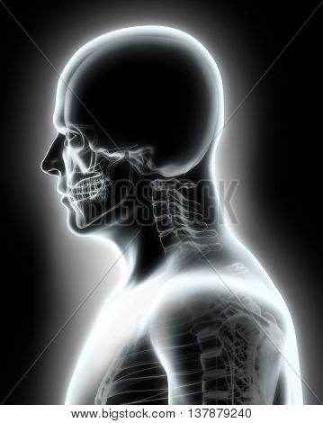 3D Illustration Of Skeleton System - X-ray Upper Part Human.
