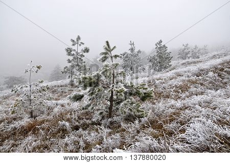 Winter landscape in mountains with frost dry grass and pine trees