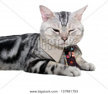 American Shorthair Cat With Necktie And Close One's Eye. Isolated On White Background With Copy Spac