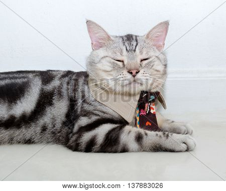 American Shorthair Cat With Necktie And Sleeping With Copy Space