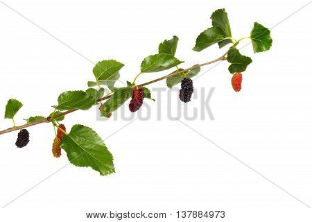 White mulberry - branch with fruits isolated on white background