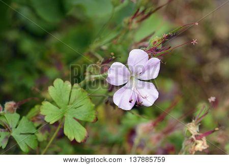 Dalmatian Cranesbill - Geranium dalmaticum Endemic to Croatia
