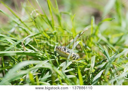 Yellow and black snake laying in the high grass
