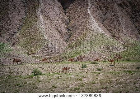 Herd of camels grazing on a mountain slope in Western  Tibet