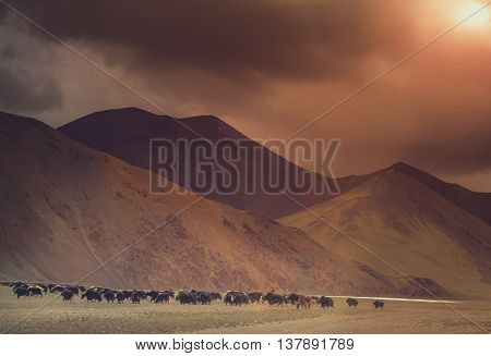 Herd of yaks grazing in the tibetan valley Tibet