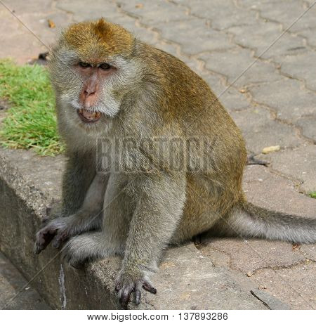 Adult Long-tailed Macaque sitting on the curb near Tang Kuan Hill, Songkhla, Thailand