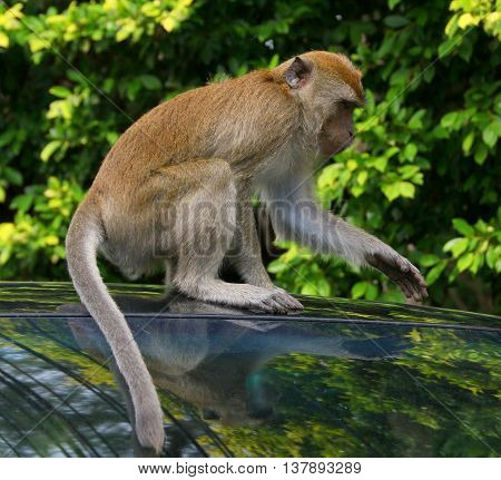 wild juvenile Long-tailed Macaque sitting on top of a car, Tang Kuan Hill, Songkhla, Thailand
