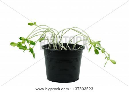 Sunflower sprouts in flowerpot isolated on white with clipping path