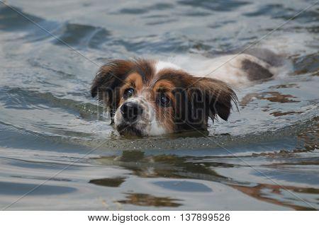 Adorable Australian Shepherd dog swimming to shore.