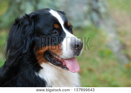 Gorgeous Bernese Mountain dog with his pink tongue out.