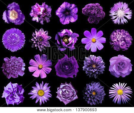 Collage Of Natural And Surreal Violet Flowers 20 In 1: Peony, Dahlia, Primula, Aster, Daisy, Rose, G