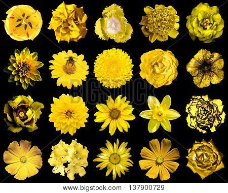 Collage Of Natural And Surreal Yellow Flowers 20 In 1: Peony, Dahlia, Primula, Aster, Daisy, Rose, G