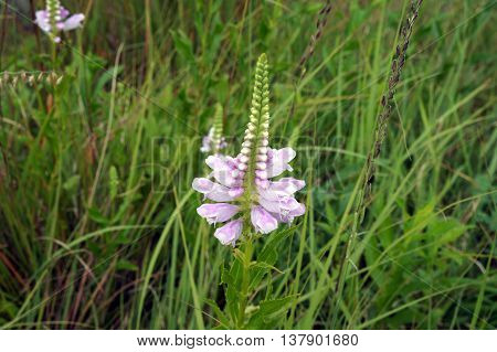 A false dragonhead flower (Physostegia virginiana), also called obedient plant, or obedience, blooms in Shorewood, Illinois during August.