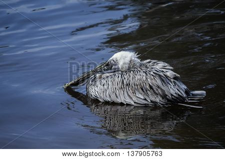 Pelican with big beak, sits on the water with folded wings