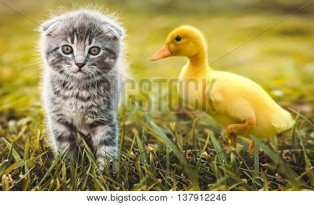 Small duckling playing with a little cat on green grass outdoors