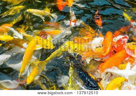 Koi fish in pond colorful natural background.