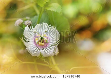 Romantic Nature White Wild Grass Flower,passiflora In Soft Mood