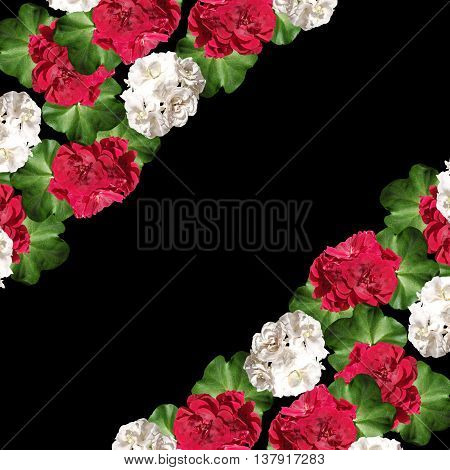Beautiful floral background isolated colors white and red pelargoniums