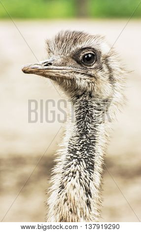 Emu portrait - Dromaius novaehollandiae. Beauty in nature. Flightless bird. Looking at the camera. Humorous scene. Vertical composition.