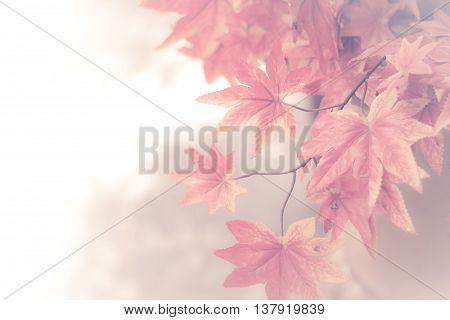 Autumn maple leaves background. red maple leaves for background. maple leaf concept background.(vintage effect and soft focus)