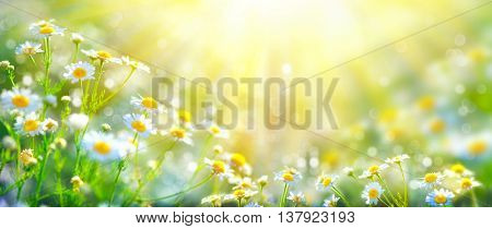 Chamomile flowers field wide background in sun light. Summer Daisies. Beautiful nature scene with blooming medical chamomilles. Alternative medicine. Camomile Spring flower background Beautiful meadow