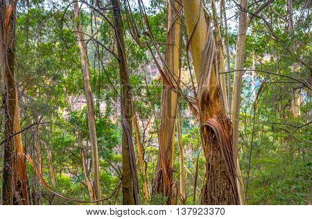 Eucalyptus Tree Trunks